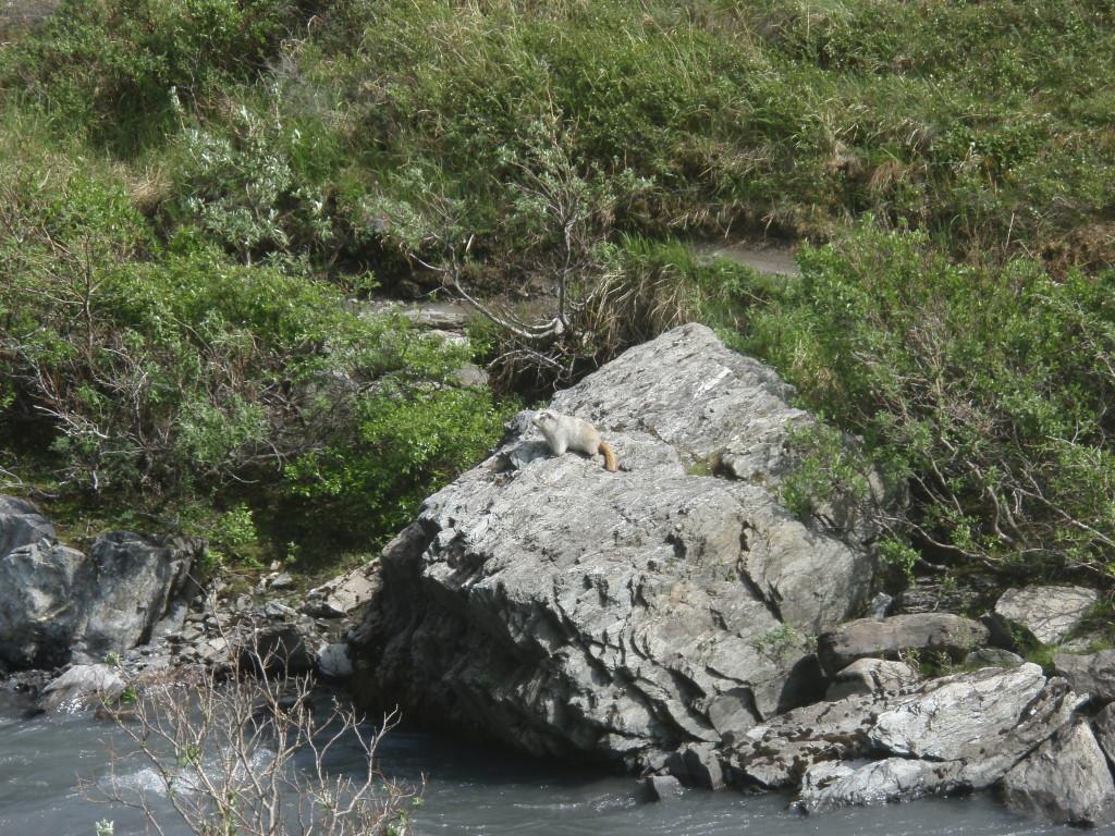 Savage River Trail - marmot