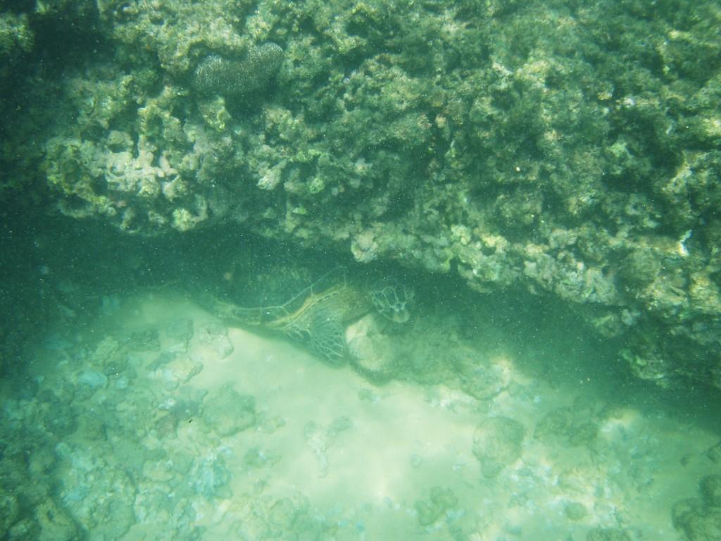 Sea Turtle hiding underneath a rock ledge