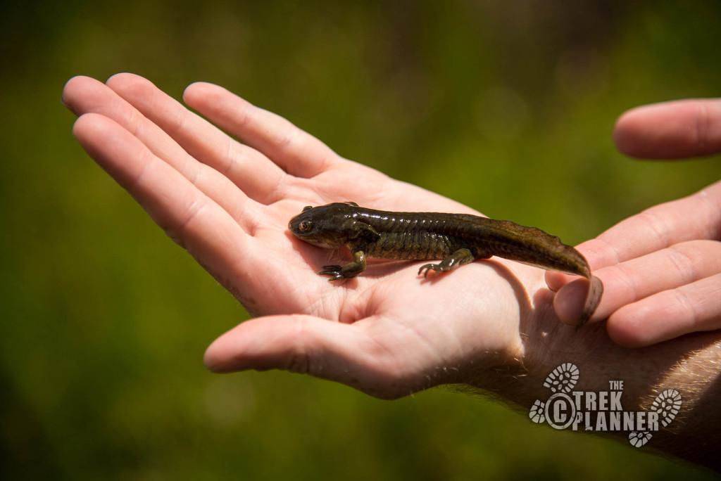 Bench Lake Salamander.