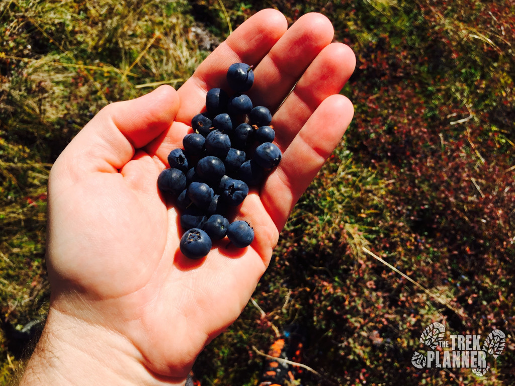I found more berries. They were bigger in this area