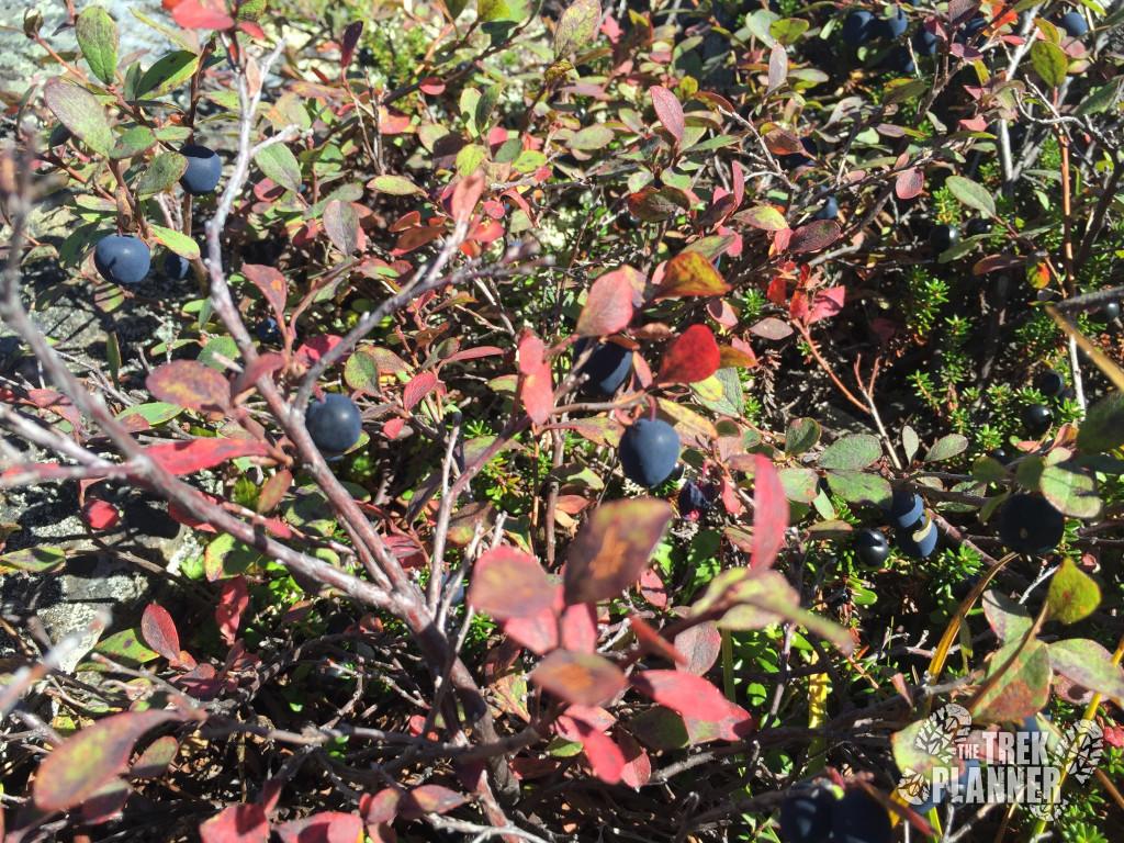 Ripe berries were everywhere