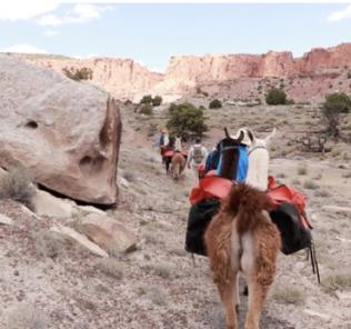 Llamas hiking